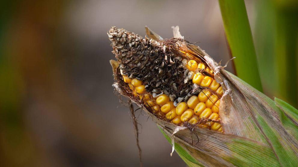 Aflatoxinas: el riesgo para la salud oculto en cereales, frutos secos y legumbres