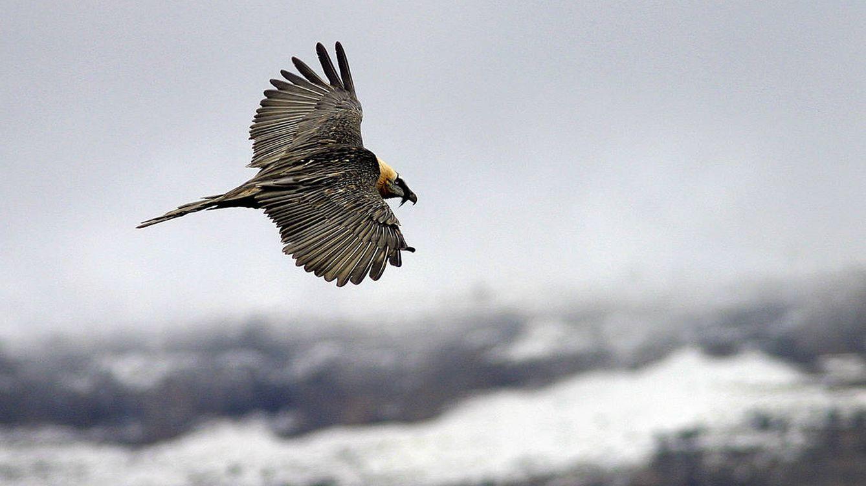 Siguiendo el vuelo del buitre que come huesos
