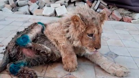 Rescatan a Simba, el león al que partieron las patas para fotografiarse con turistas