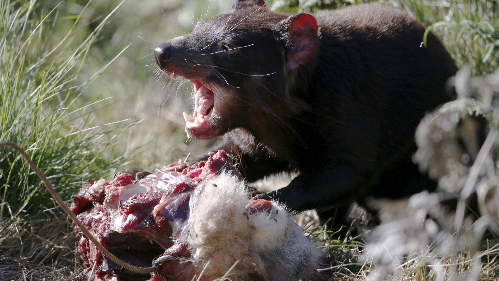 Imagenes De Diablo De Tasmania