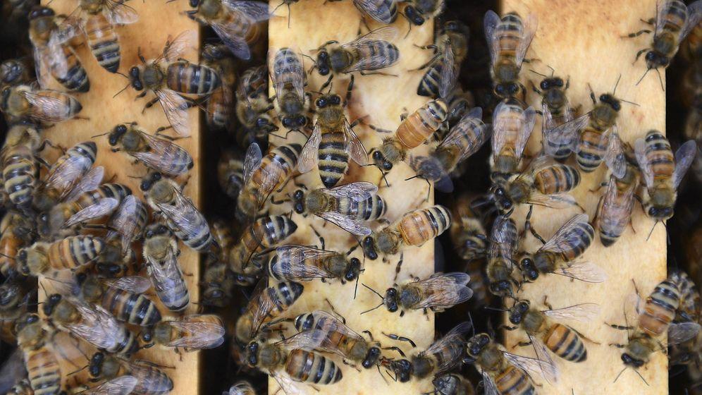 Foto: Imagen de archivo de abejas. (EFE)