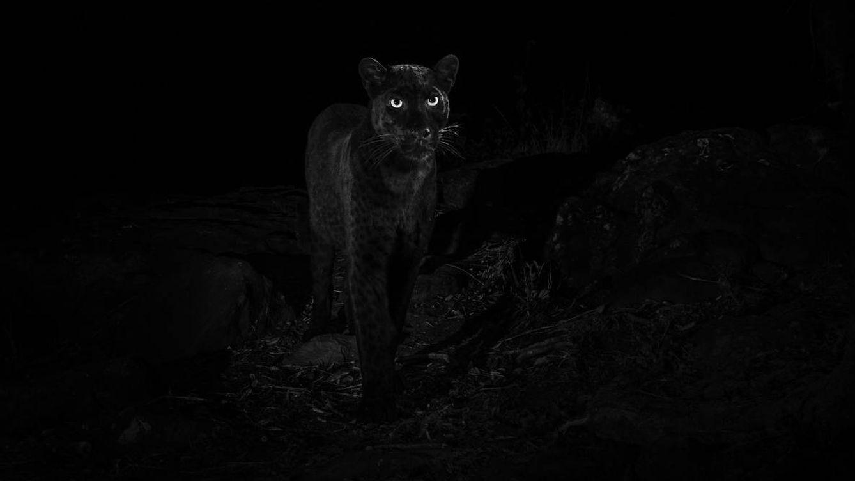 Fotografían a un leopardo negro africano por primera vez en más de 100 años