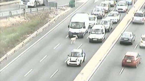 Varios kilómetros de retenciones por una oveja en una de las principales carreteras de Sevilla