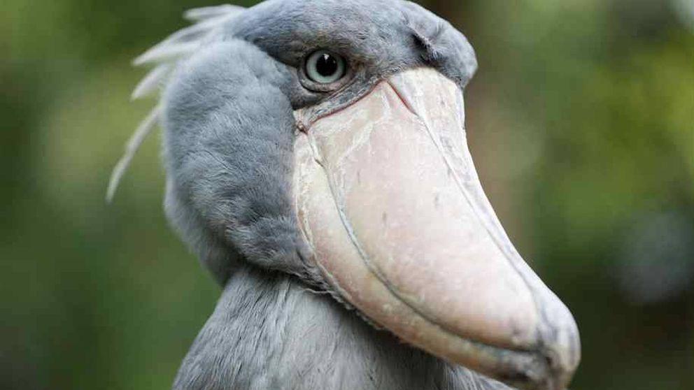 ¿Cuánto sabes de aves? Demuéstralo reconociendo estas 15 especies raras