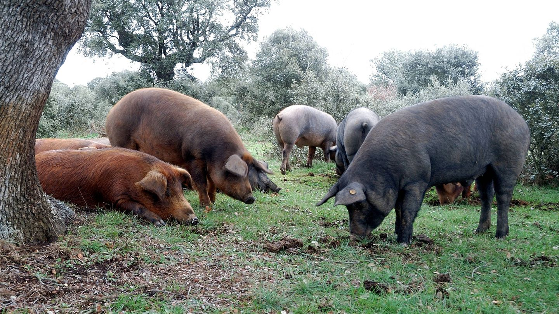 Cerdos ibéricos en una dehesa. (iStock)