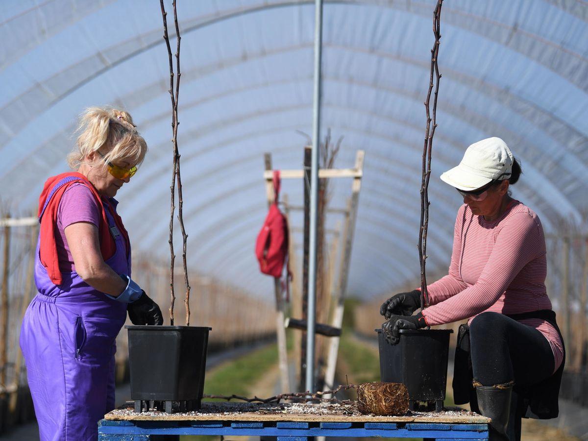 Foto: Dos trabajadoras almacenan frutas en un invernadero. (EFE)