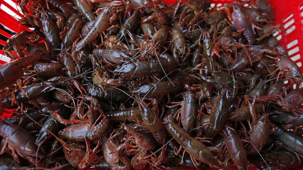 Foto: Ejemplares de cangrejo rojo americano, en la planta de procesado de Alcofan en Isla Mayor, Sevilla. (EFE)