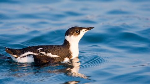 Este pájaro viaja 16.000 kilómetros cada año... sin motivo alguno
