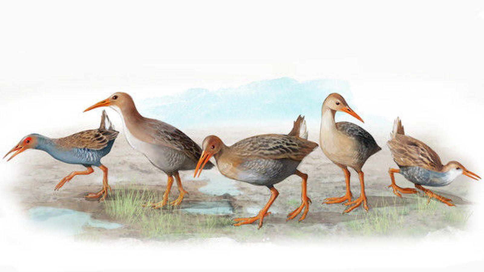 """Foto: Las cinco nuevas especies de rascones extintas en Madeira y Azores. De izquierda a derecha  R. carvaoensis, R. adolfocaesaris, R. montivagorum, R. lowei, R. """"minutus"""". / José Antonio Peñas (Sinc)"""