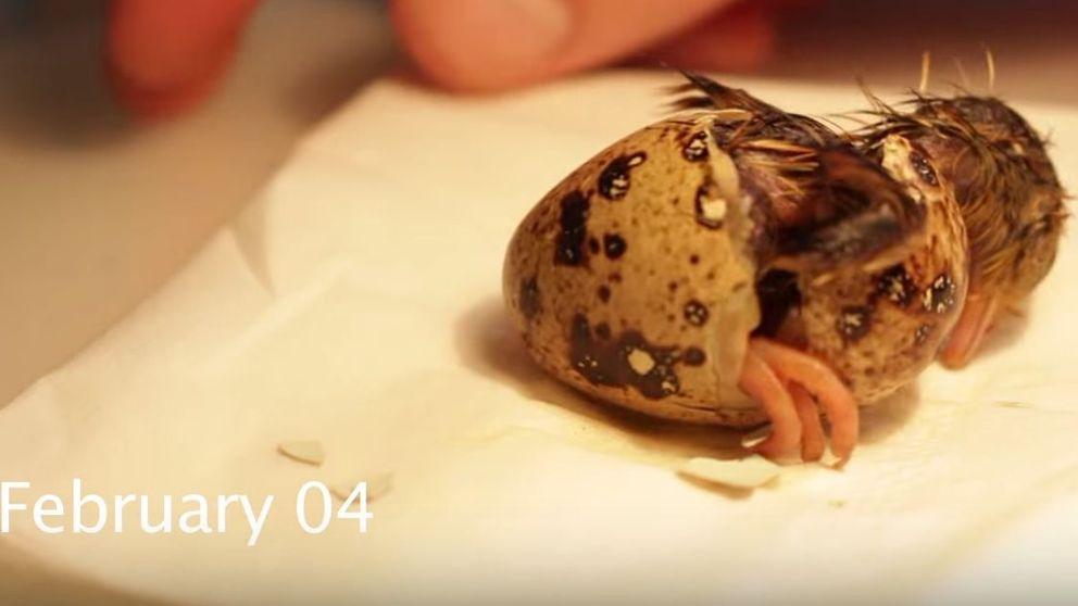 Una 'plumada' mascota: Albert, la codorniz que nació de un huevo de supermercado