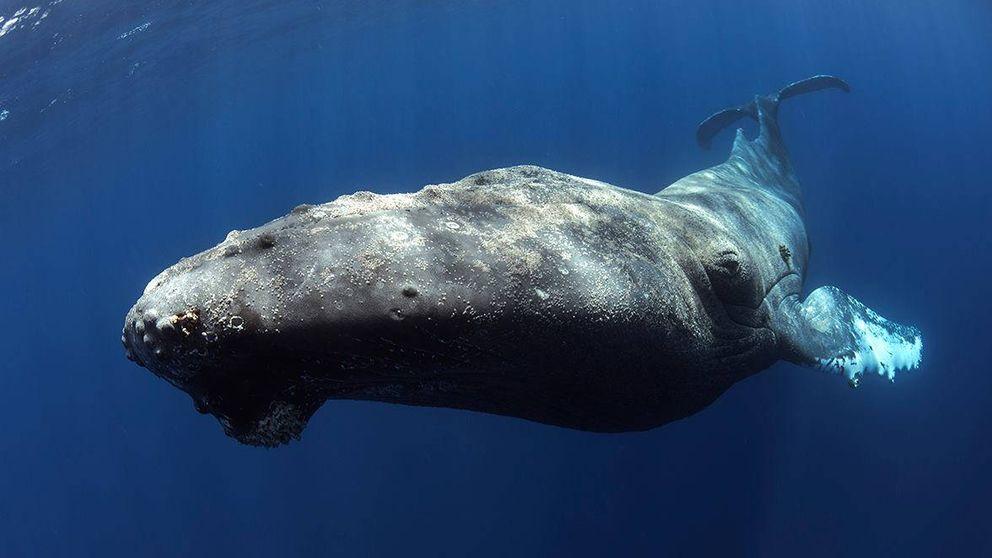 Consiguen grabar un ejemplar de ballena yubarta en las costas de Tenerife