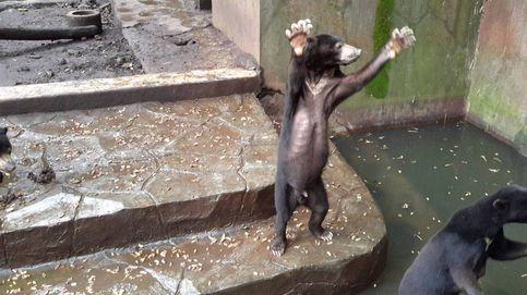 Osos muertos de hambre en un zoo de Indonesia: el vídeo que te partirá el corazón
