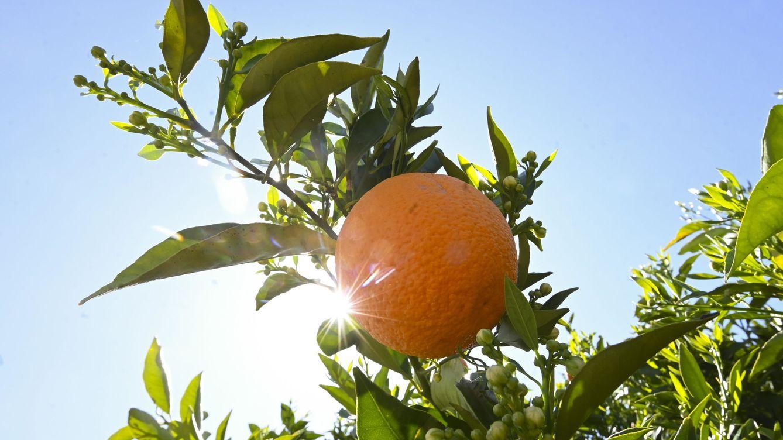 Egipto tumba a España y el reinado de la naranja valenciana con granjas en el desierto