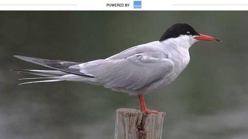 El charrán, la primera ave que impresionó a Cristóbal Colón