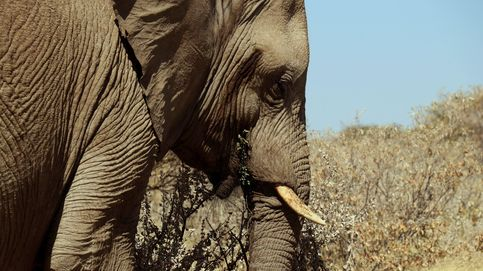 Zimbabue se plantea una matanza masiva de elefantes para reducir la población