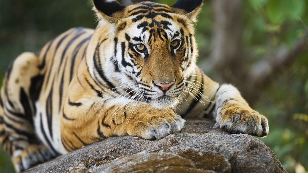 Foto: Cachorro de tigre de Bengala en el Parque Nacional de Bandhavgarh, India