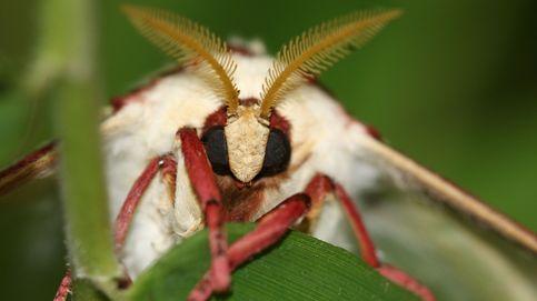 La cola de esta mariposa confunde el sonar de los murciélagos