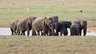 Una manada de elefantes presenta sus respetos a su líder muerto