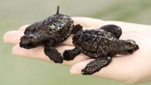 Liberan 23 tortugas bobas en la playa valenciana de Cullera