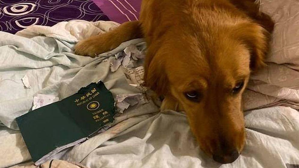 Foto: Kimi se comió parte del pasaporte y logró que su dueña no viajara a Wuhan. Foto: Facebook