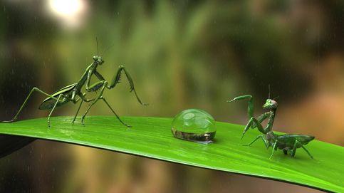 La mantis religiosa que ya no pierde la cabeza ante la hembra durante el sexo