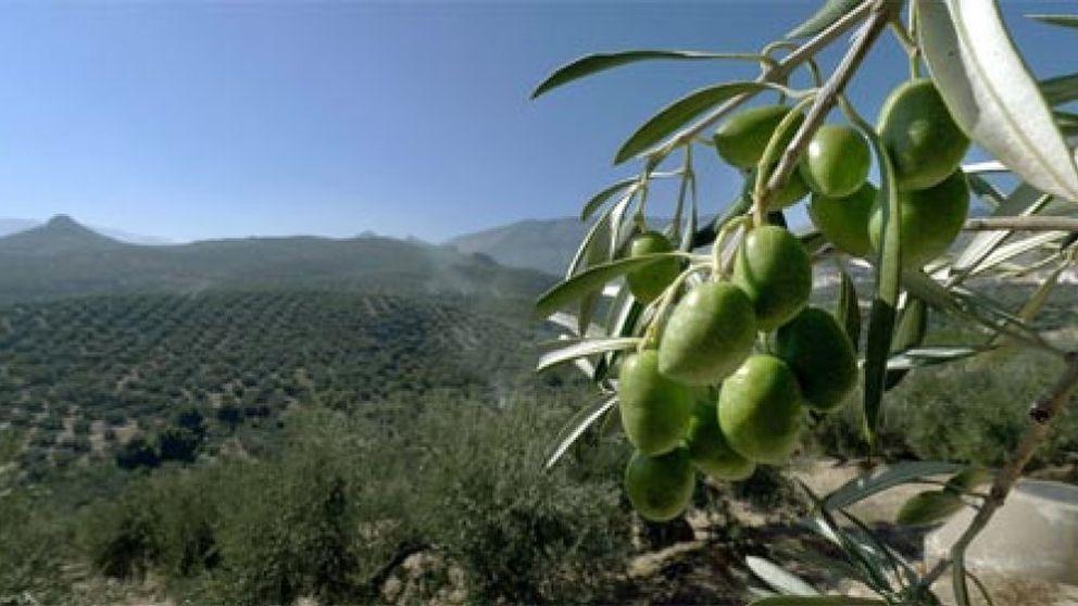 La caída en picado del precio del aceite de oliva dispara las exportaciones