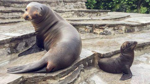 Imponen un toque de queda a los ruidosos leones marinos del zoo de Colonia