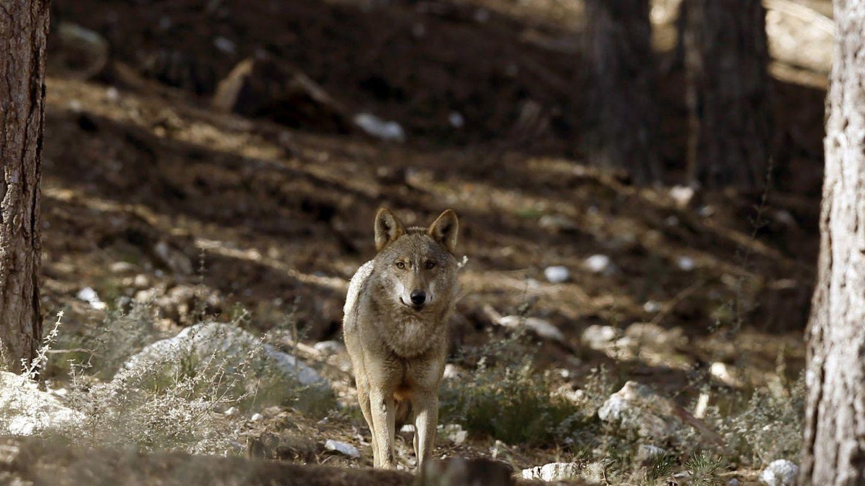Ejemplar de lobo ibérico. (EFE)