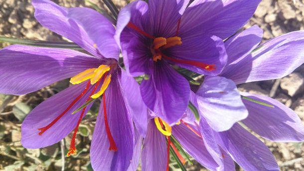 Foto: El estigma rojo de la flor del azafrán es una de las especias más caras del mundo. / Consejo Regulador DOP Azafrán de La Mancha