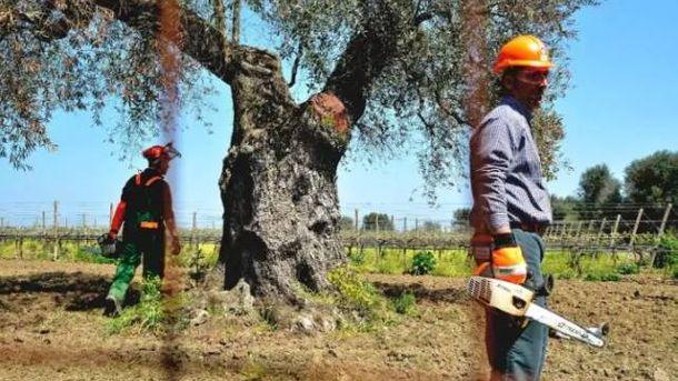 Foto: Un olivo infestado por la 'Xylella fastidiosa'.