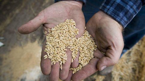 La patente del trigo para celíacos tendrá que buscarse la vida en el extranjero