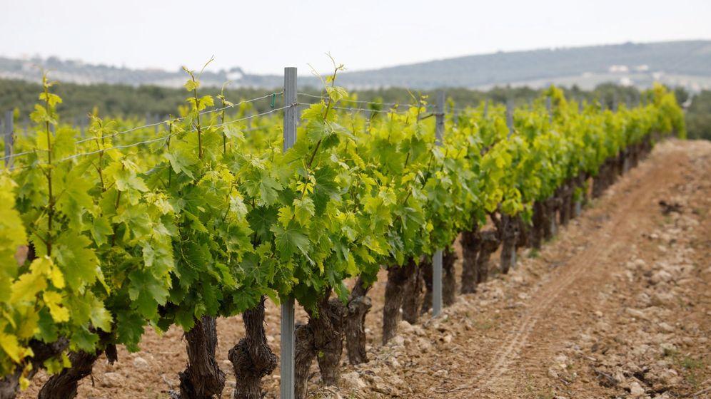 Foto: Imagen de unos viñedos. (EFE)