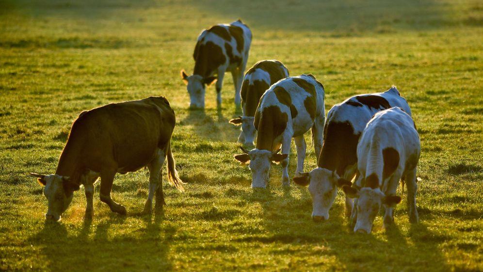Foto: Las vacas estaban pastando plácidamente cuando se pusieron nerviosas por los ladridos del perro (EFE/Zsolt Czegledi)
