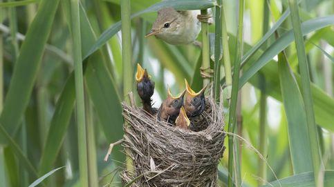 El instinto musical de los pájaros: aprenden canciones desde el interior del huevo