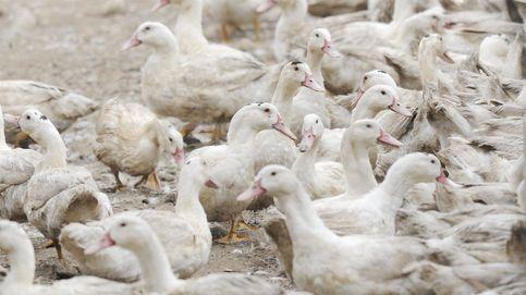 Francia detecta un primer foco de gripe aviar en una granja cerca de España