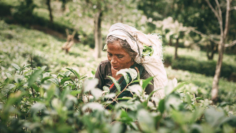 Mujer recogiendo té en Sri Lanka. (iStock)