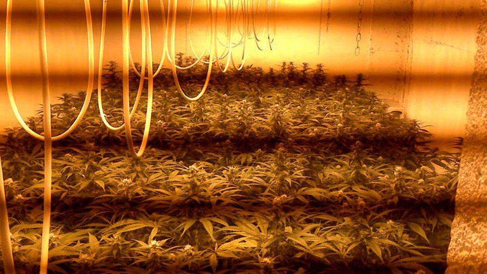 Foto: Plantación de marihuana descubierto en un operativo (Guardia Civil)