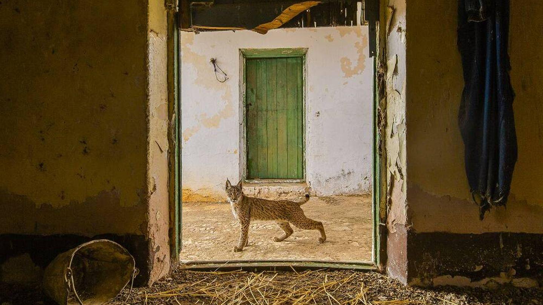 Un lince ibérico en un pajar abandonado de Sierra Morena. (Sergio Marijuán/Wild Life Photographer of the Year)