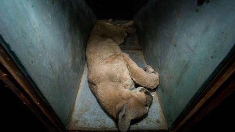 Sexto puma que es atrapado en un barrio residencial de Santiago de Chile