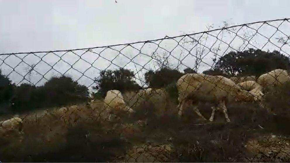 Un rebaño de 500 ovejas a su suerte deja accidentes, ataques y ejemplares muertos