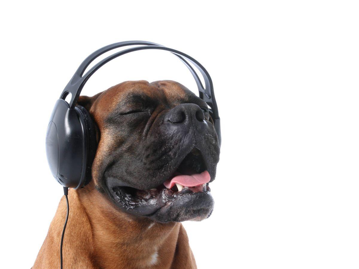 Foto: Un perro escuchando placenteramente música (iStock)
