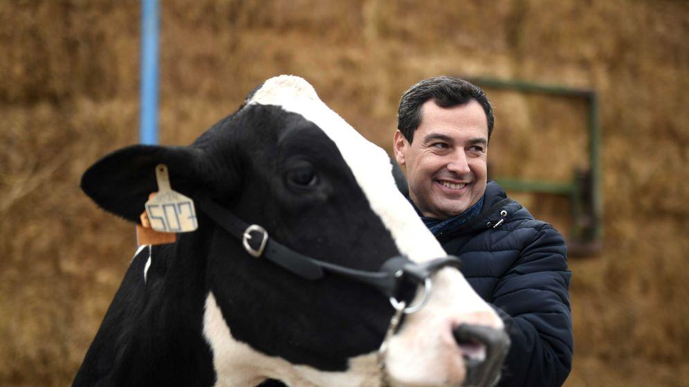 Foto: El candidato del PP a la presidencia de la Junta de Andalucía, Juanma Moreno, acaricia una vaca durante la visita a una granja. (EFE)
