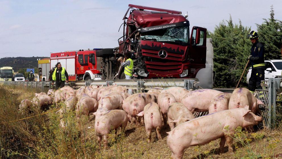 El choque entre un camión con cerdos y un autobús deja ocho heridos en Palencia