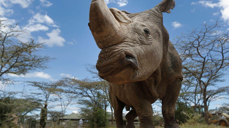 Muere Sudán, el último ejemplar de rinoceronte macho blanco del mundo
