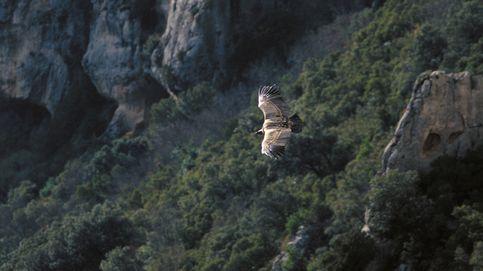 El elegante y pausado vuelo del buitre leonado