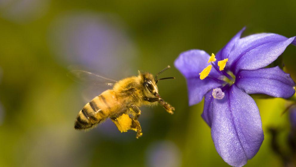 No son solo las abejas: moscas y hormigas colaboran en la polinización