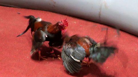 Denunciadas 83 personas en El Palmar de Troya (Sevilla) reunidas para realizar una pelea de gallos clandestina
