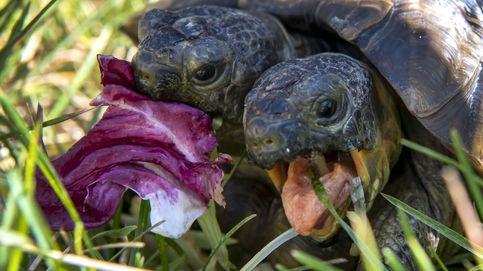 Janus, la tortuga de dos cabezas