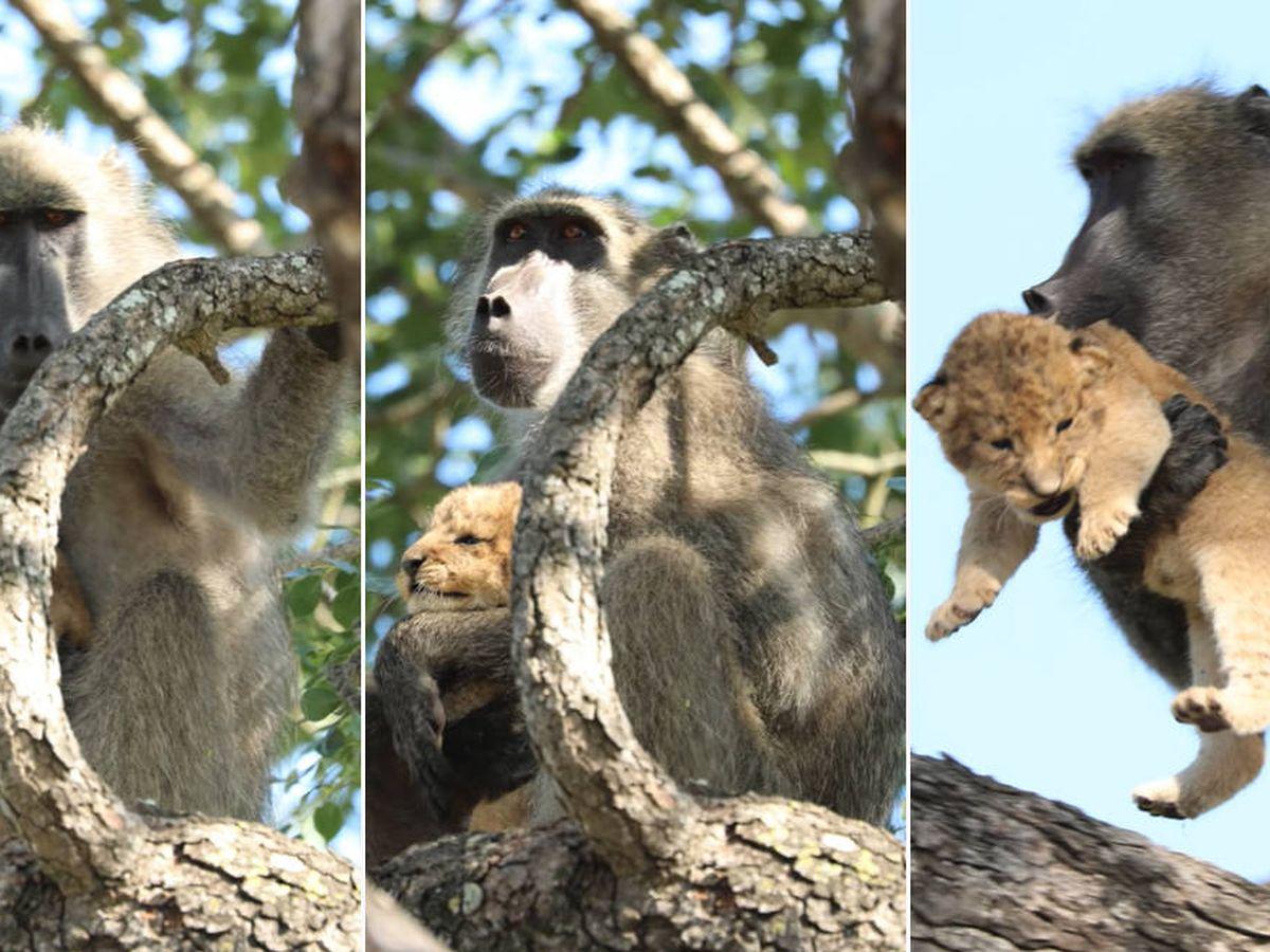 Foto: El babuino que robó al cachorro repitió la icónica escena de El Rey León (Foto: YouTube)