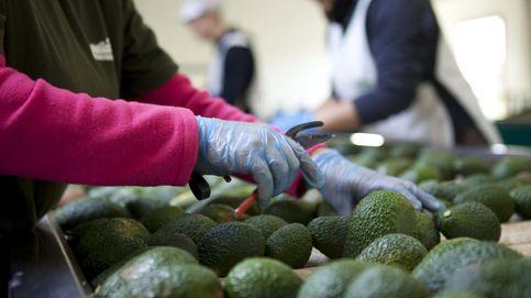 Una fruta peligrosa: la sorprendente influencia geopolítica del aguacate